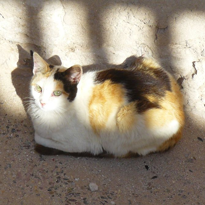 A Essaouira, un chat de gouttière à l'allure d'un chat d'appartement...