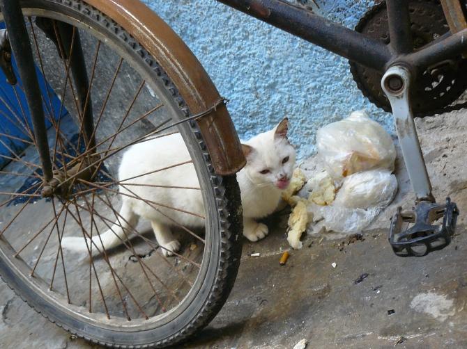 A Marrakech, les vélos sont aussi nombreux que les chats. Les deux font bon ménage.