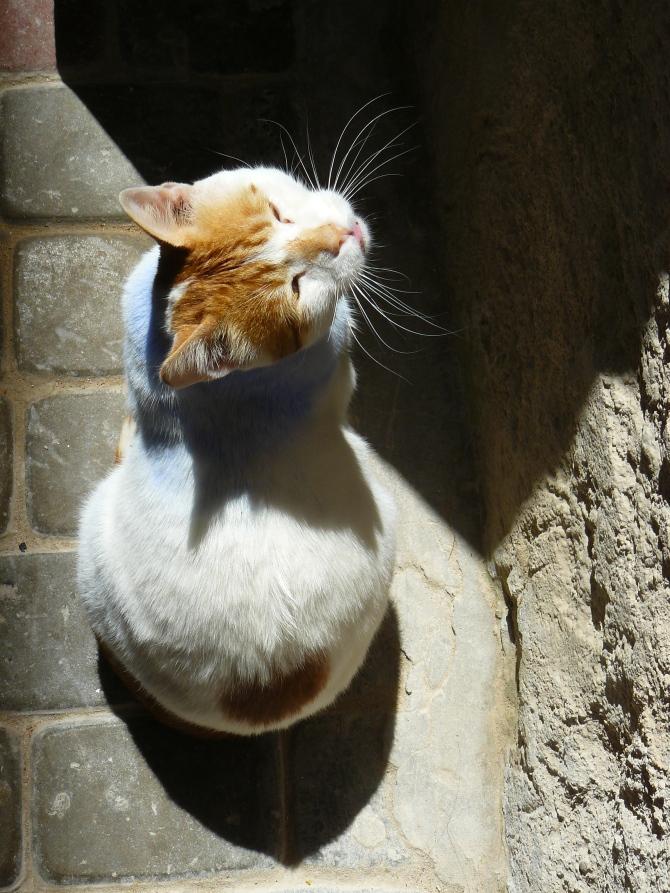 Ce petit chat a l'air de s'être frotté aux volets bleus qui font le charme d'Essaouira...