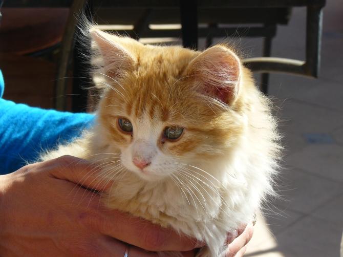 Chats et chatons sont très, très nombreux, au Maroc !